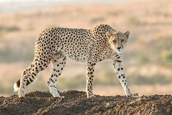 Awesome Cheetah
